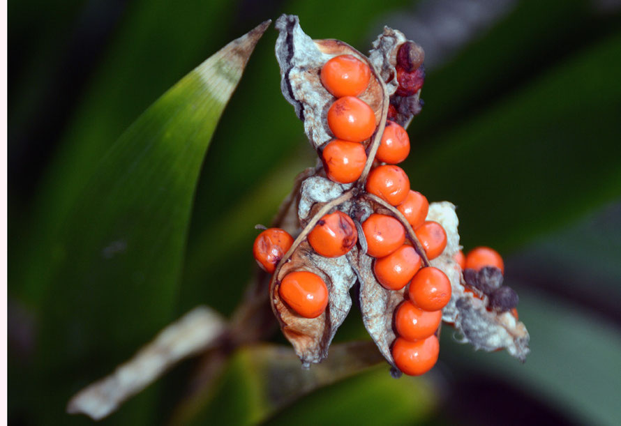 The berries of one of the UK's two native Iris: this one is the Iris foetidissima (Stinking iris, gladdon, Gladwin iris, roast-beef plant, stinking gladwin) that grows and spreads in downland wood and scrub and our garden. The other is the Yellow Iris.