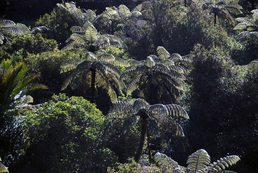 Sun filtering through tree fern dominated lowland forest in the Wainui Valley, Golden Bay.
