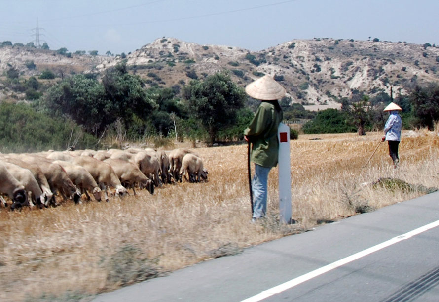 Vietnamese sheep-women minding the flock while the owner drives the sheep in his pick-up near Tochni June 2013.