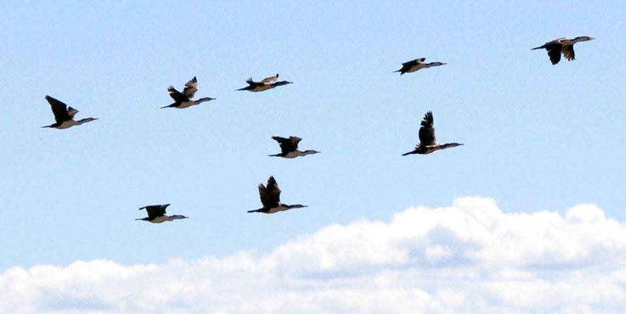 Shag in flight at Miranda Bird Reserve, Firth of Thames, Waikato, North Island