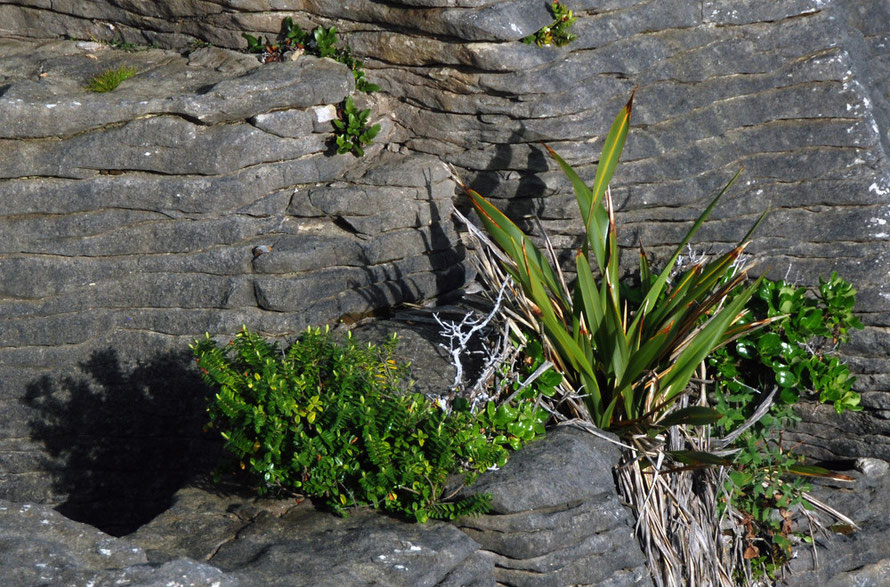 Beautiful micro-rock gardens of flax, hebe, Maori ice plant (horokaka) at Pancake Rocks.