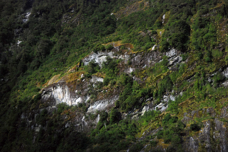 The vertiginous valley sides of Milford Sound and tenacious beech trees