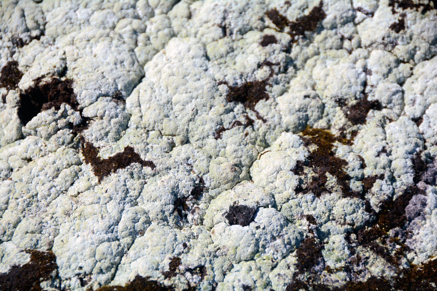 Not cauliflower but lichen covered rock at Russelv.