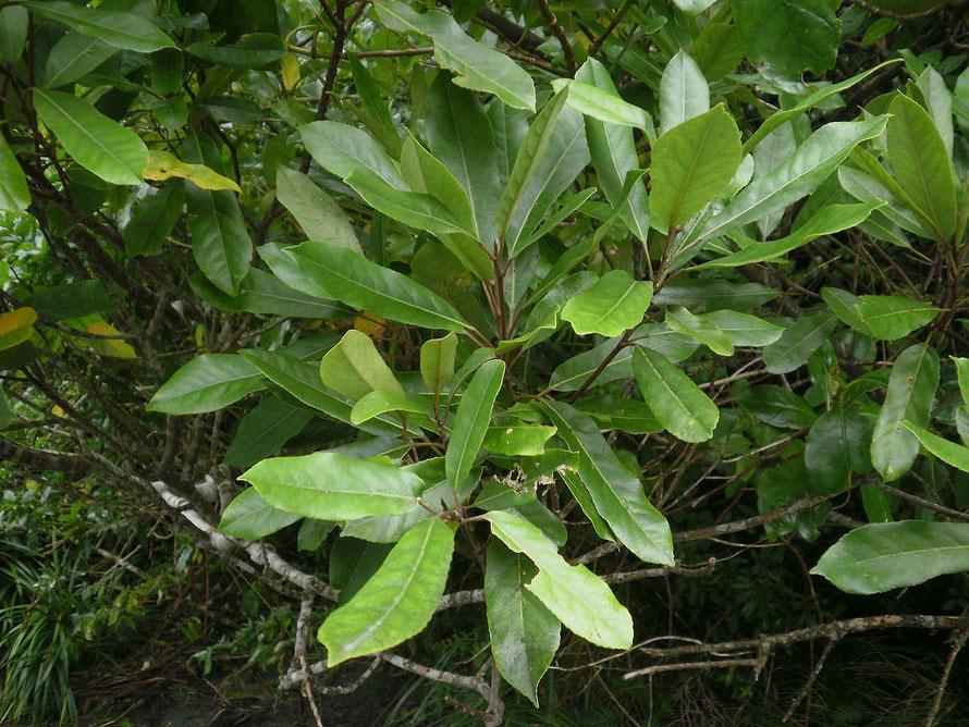 Hinau - Elaeocarpus dentatus (Courtesy Rudolph89 WikiCommons)