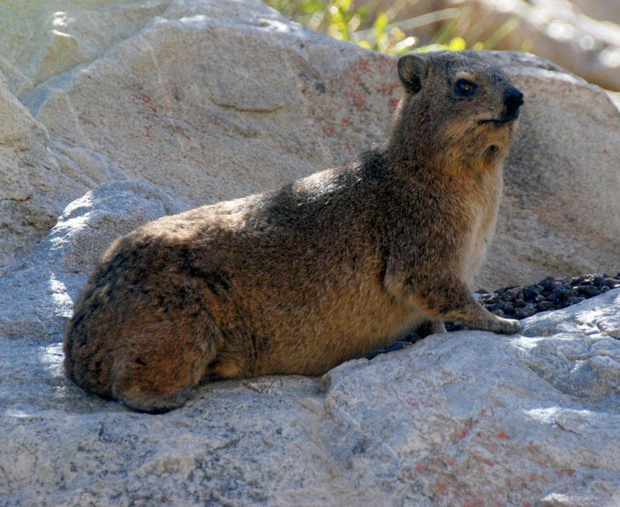 Dassie (Rock Hyrax) on rocks in gorge behind Montagu West