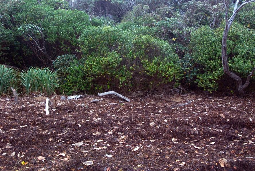 olearia oporina at the end of summer on Ulva Island