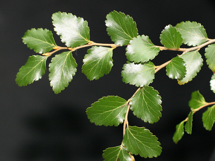 Hard Beech Nothofagus truncata foliage. Grows to 30m and timber is hard and hard to work because it has a high silica content  (Courtesy Kahuroa WikiCommons)