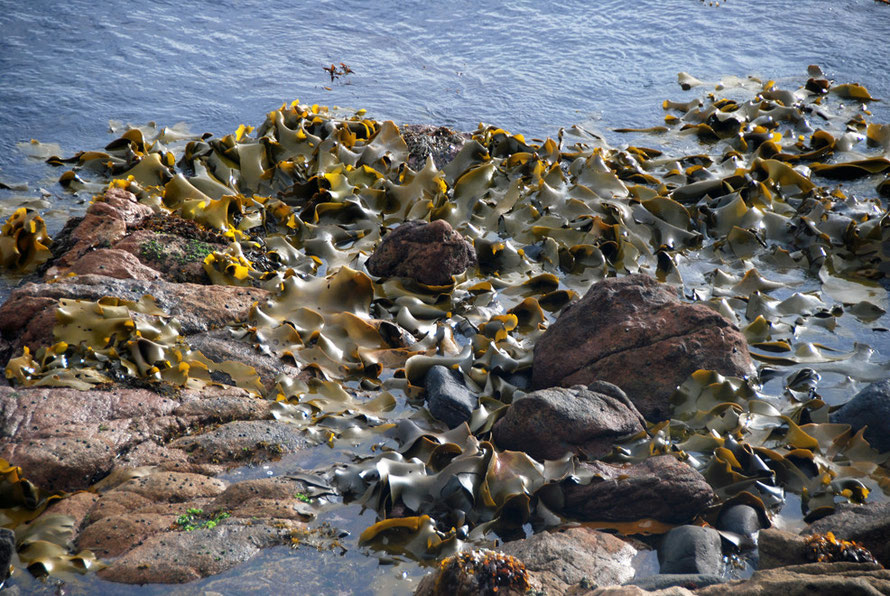 Bull Kelp - Durvillaea antarctica - at Fishman's Point. It was used by Maori to make sacks to preserve titi/muttonbitds (see my page Sooty Shearwaters and Blue Penguins in 'Stewart Island'. (Thanks to