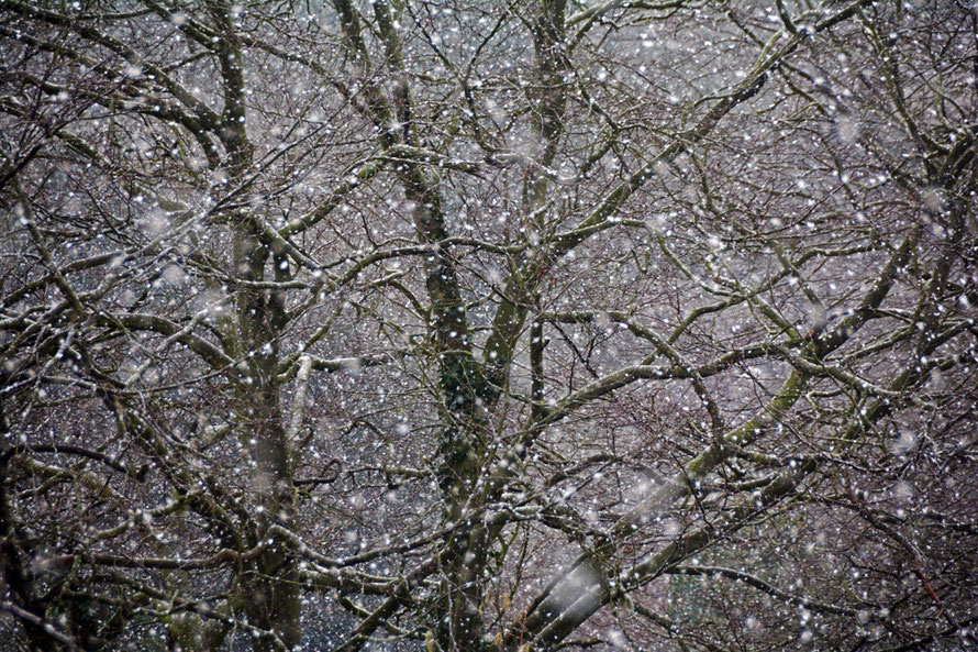 The first snow arrived in the beech trees.