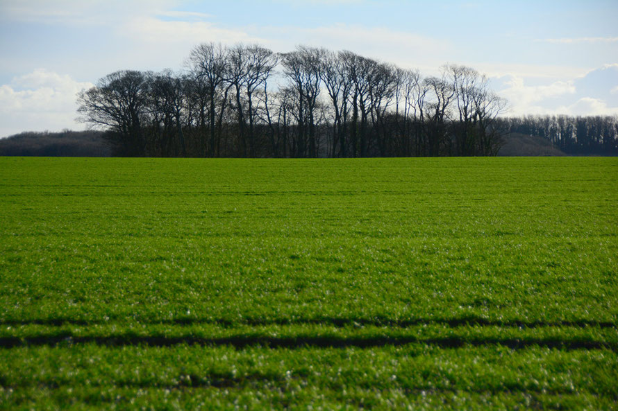 My blipfoto of the day. Winter wheat and beech copse near Martin Mill, East Kent.