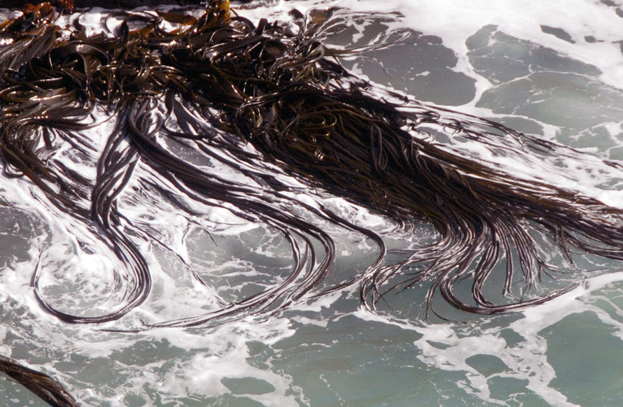 Bull kelp (Durvillaea antarctica) growing at the base of the cliffs exposed to the Pacific at Taiaroa Head