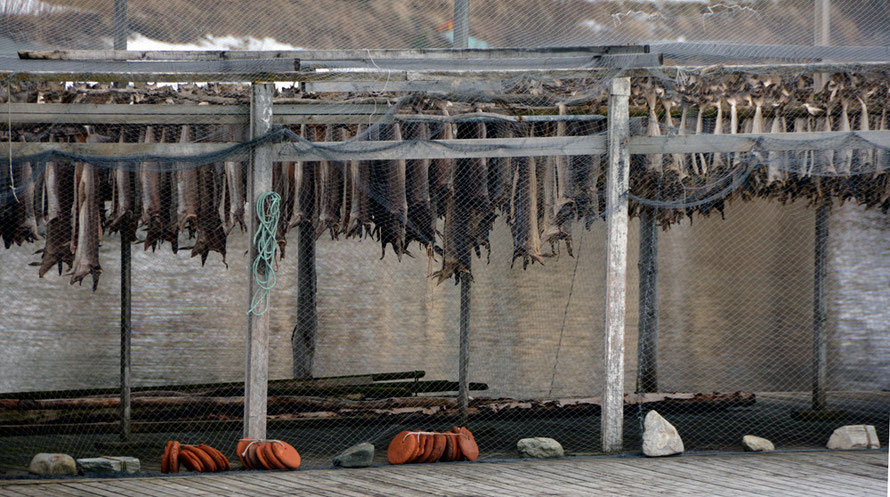 Stockfish drying on wooden, netted racks at Jøvik on the Kjosen arm of the Ullsfjorden. 'Stockfish' is a Danish loan word 'stokvis' meaning stick fish. Stockfish, which are air-fermented, have been traded since the 13th century in western Scandinavia.
