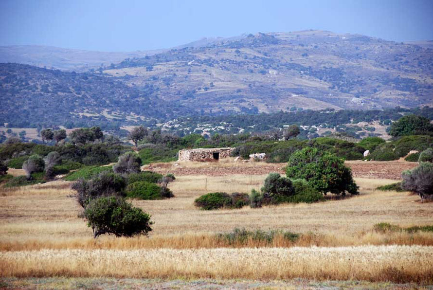 Akamas in June: wheat and carob trees.