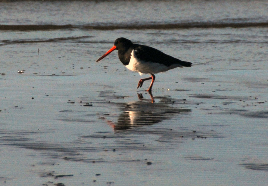 Variable oystercatcher in pied variety at Pohara Beach.