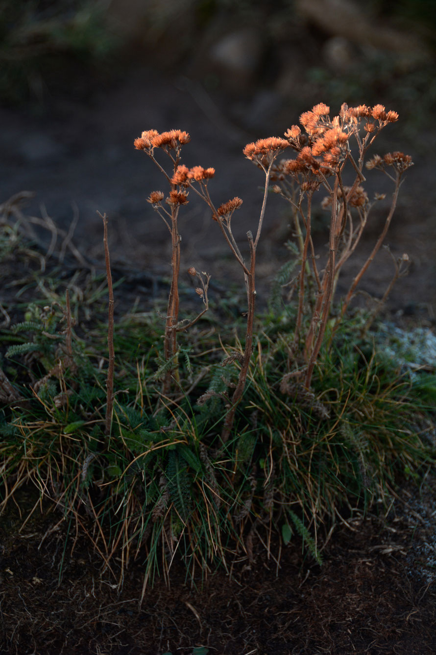 Last seed heads catching the sun on the backslope of Salisbury Crags - yarrow?