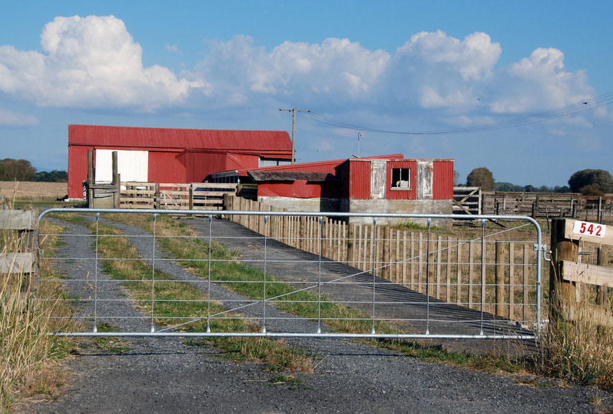 Characteristic farms shed with big sky on the Hauraki Plains, Waikato. Big drainage schemes greatly reduced wetlands and increased productive agricultural land