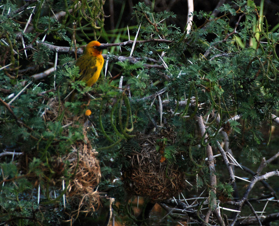 Male Cape Weaver and nests