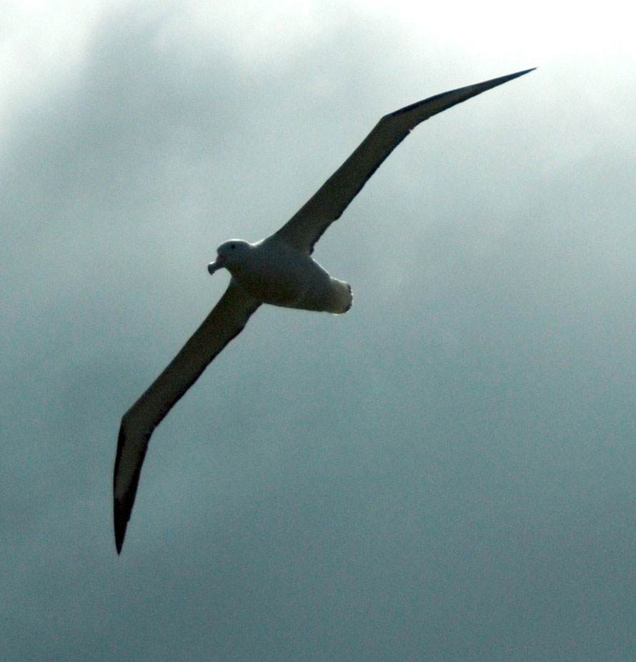 The Northern Royal Albatross