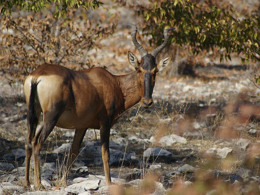 Red Hartebeest in Namibia © Hans Hillewaert