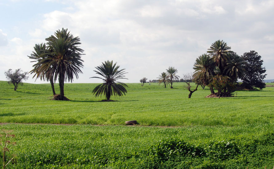 The Mesaoria with palm and citrus trees behind Hala Sultan Tekke mosque to the south-west of  Larnaka (February, 2011).
