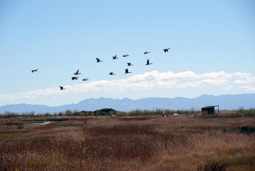 An quiver of Pied Shags (Phalacrocorax varius) flies over the Miranda Reserve.