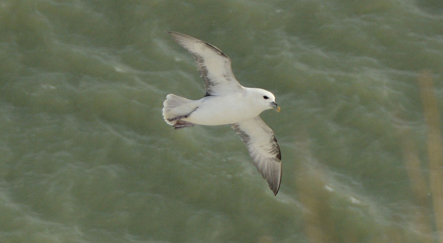 Fulmar using the updrats from the chalk cliffs for spectacular gliding.