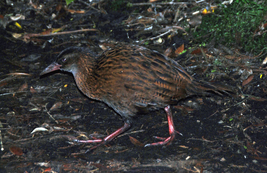 This Wheka appeared out of the undergrowth intent on its foraging. A large rail, it is equipped with a fearsome stabbling beak and large feet for pulling back forest floor litter in its search for foo