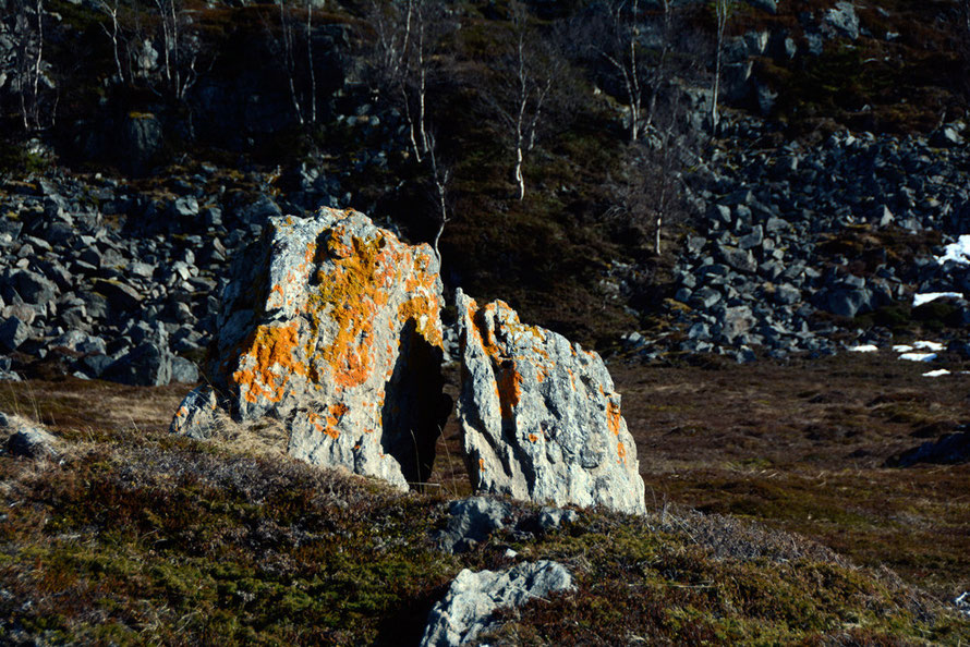 A blaze of orange lichen in the low sun at Russelv on the Lyngen Peninsula.