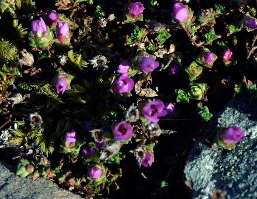 Silene acaulis, known as moss campion at on the rocky foreshore at Russelv at the end of the Lyngen Peninsula.