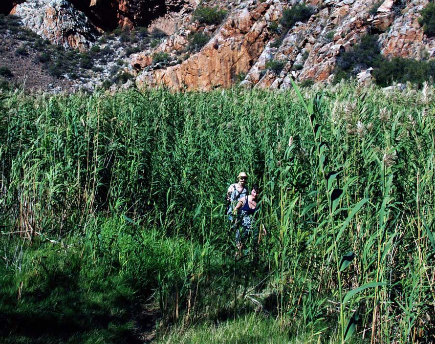 EM Forster moments: reed bed, Montagu Gorge
