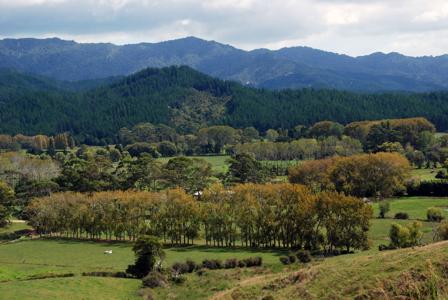 A British Arcadia: exotic trees and grassland on the Coromandel Peninsula.