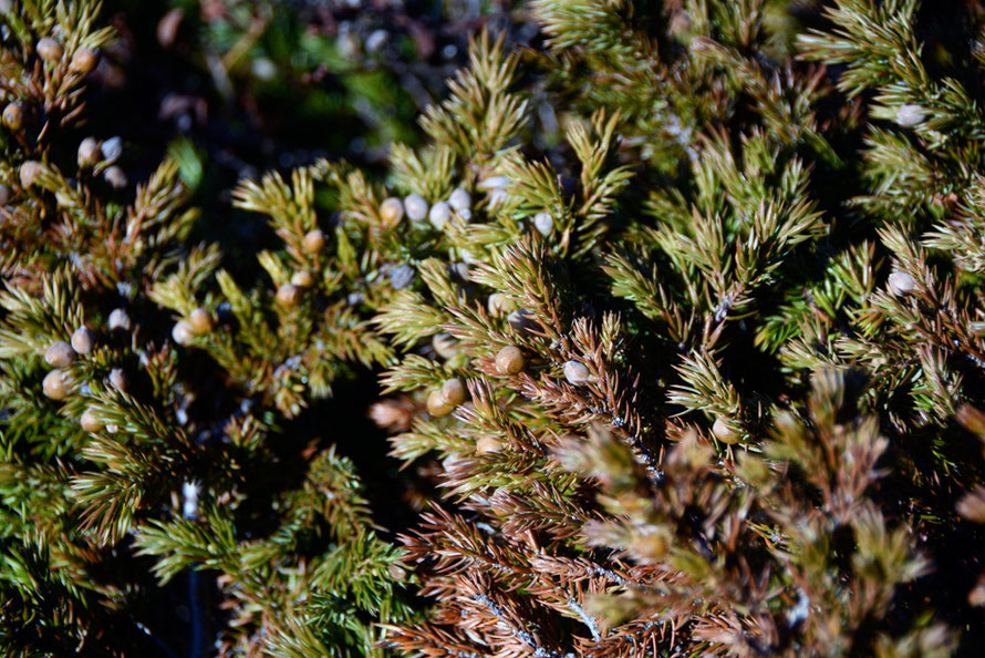 Common Juniper (Juniperus communis) on the rocky terrain at Russlev near sea level on the Lyngen Peninsula.
