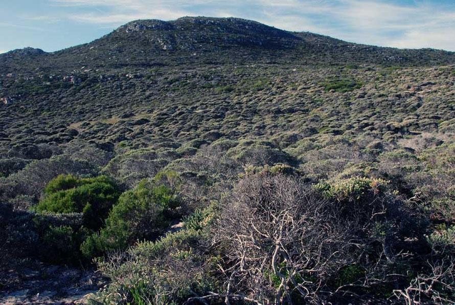 Fynbos vegetation at the Cape of Good Hope