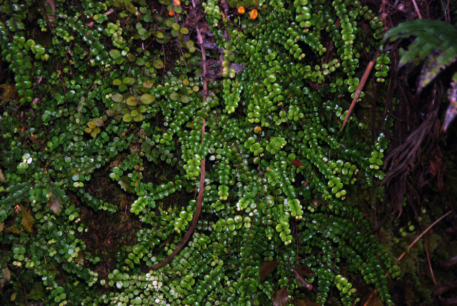 Tarawera/Button fern - Pellaea rotundifolia - on the Pupu Hydro Walk. Growing on the rock cutting above the water race.