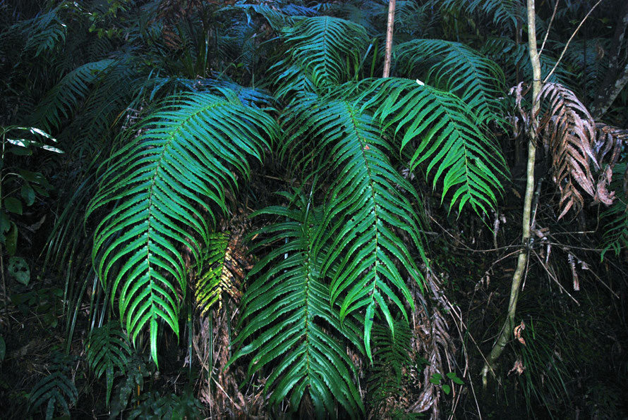 Possibly Tawhiti-para/King Fern - Ptisana salicina - on the Hydro Walk, Golden Bay.