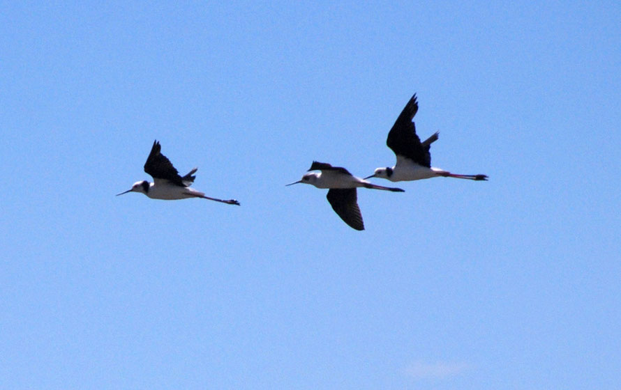 A trio of Pied Stilts/poaka (Himantopus himantopus) floats gracefully across the blue skies of the Miranda Reserve. In new Zealand since the early 19th century there were an estimated 30,000 in the 1990s. Called the Black Winged Stilt in Europe.