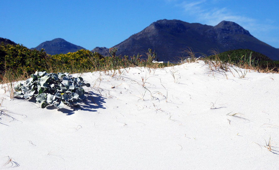 Scarborough: Sand, succulent, hill