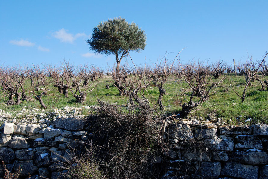 Vines on limestone on the spur towards Lofou, January 2013.