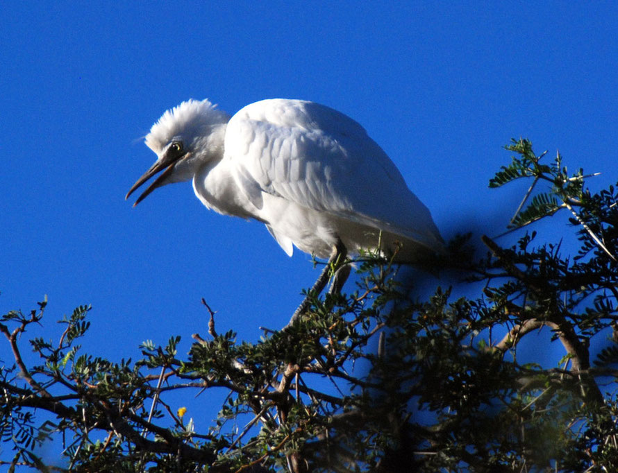 Little Egret (Egretta garzetta) on the roosting tree at Montagu