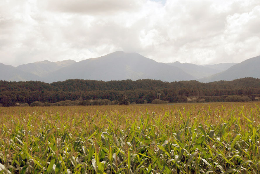 Maize growing in the Grey River-Mawheranui valley between Ngahere and Stillwater