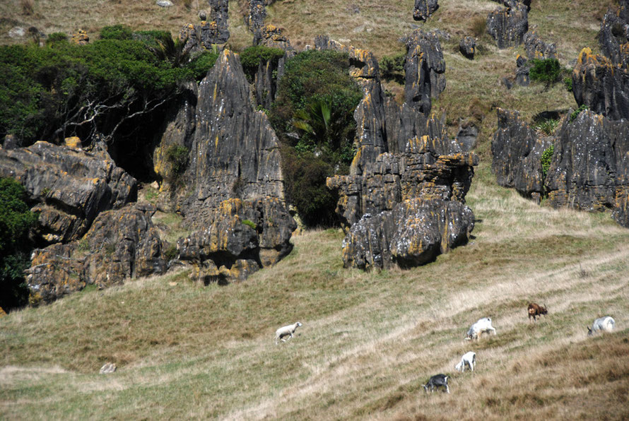 Sheep and wild goats grazing side-by-side amonst the fantastic rock formations of the Cowin Road south of Mangarakau