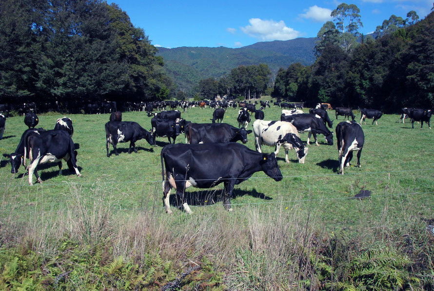 Dairy herd in the Te Waikoropupū valley, Golden Bay.