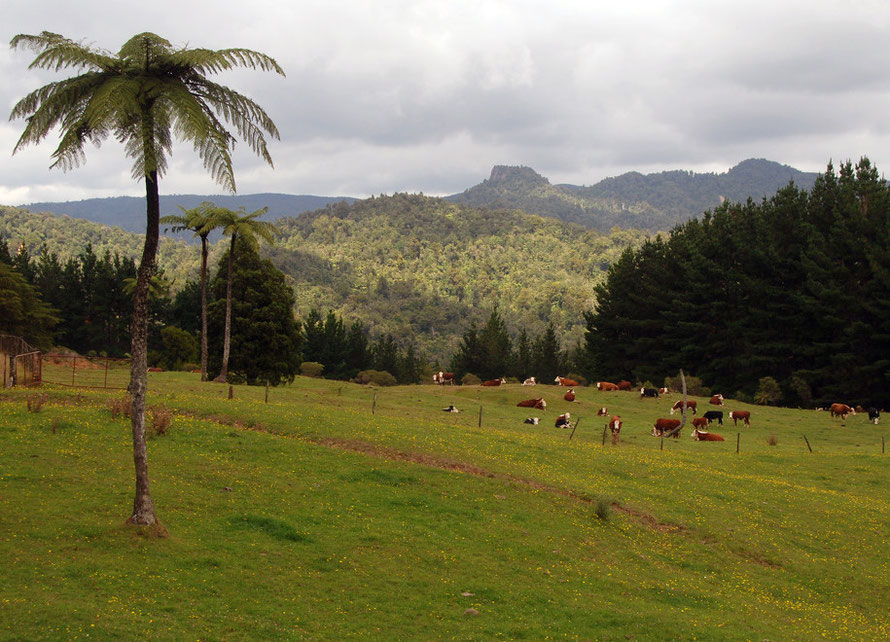 Upland cow pasture with tree fern, inland on the Coromandel Peninsula, Waikato.
