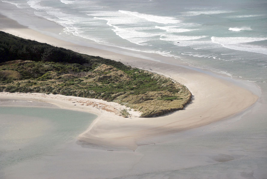 The south end of Victory Beach where sea lions have bred since 1993. The dunes, low vegetation and the nearby pine woods all provide shelter and protection for pups while their mothers are at sea.