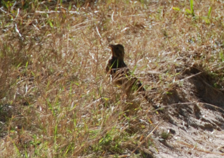 Bird - Taupo Head walk, Golden Bay. It looks like an introduced Eurasian Skylark (Alauda arvensis) to me.