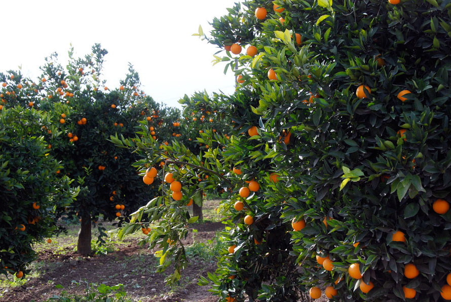 Orange grove near Potamia