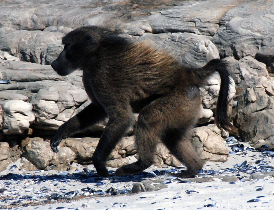 Lone male Cape Chacma Baboon on the beach at Scarborough,  Cape Peninsula