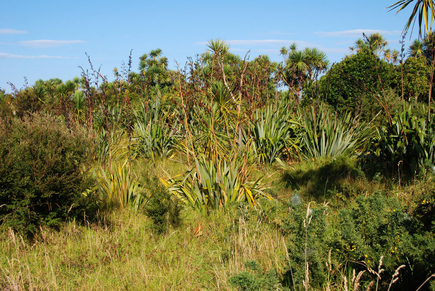 Coastal vegetation at Whatipu: Ti kouka/Cabbage Tree (coryline australis),  Harakeke/flax (Phormium tenax), Kanuka (kunzea ericoides), European Gorse and possibly Puriri (vitex lucens).