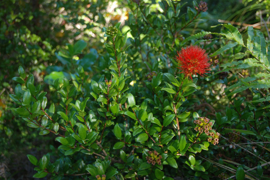 A late flowering Southern Rata in Golden Bay: a key constituent of lower montane forest.