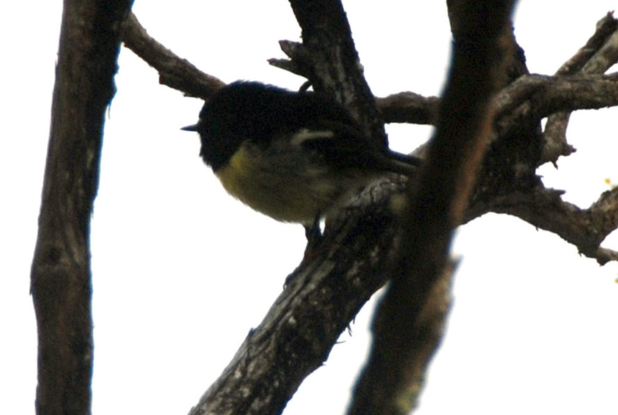 South Island tomtit (Petroica m. macrocephala) in manuka scrub on way to Ackers Point, Stewart Island.